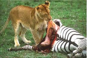 Leoa devora zebra
